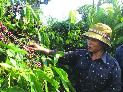 Hai phương pháp tưới cà phê mùa khô